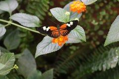 Una farfalla arancio Fotografie Stock