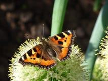 Una farfalla arancio si è seduta sull'inflorescenza di una pianta di cipolla Immagini Stock
