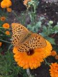 Una farfalla arancio su un tagete Immagine Stock Libera da Diritti