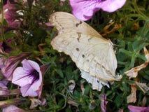 Una farfalla bianca Fotografia Stock Libera da Diritti
