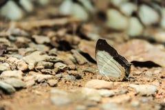 Una farfalla bianca e marrone Immagini Stock Libere da Diritti