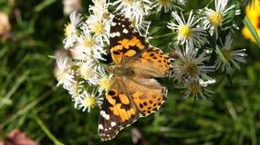 Una farfalla che riposa sui fiori bianchi immagine stock libera da diritti