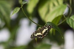 Una farfalla comune della calce Fotografia Stock
