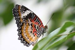 Una farfalla del colourfull. Immagine Stock