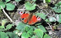 una farfalla dell'insetto si siede sulle foglie Fotografie Stock