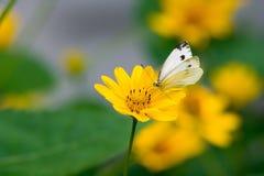 Una farfalla di Brassicae del Pieris Immagine Stock