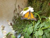 Una farfalla di monarca Immagine Stock Libera da Diritti