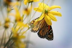 Una farfalla di monarca su un fiore giallo un giorno di estate soleggiato fotografie stock