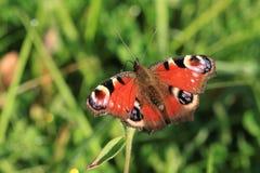 Una farfalla di pavone. Immagine Stock