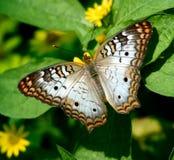 Una farfalla di pavone bianca Immagine Stock Libera da Diritti
