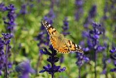 Una farfalla e una lavanda Fotografie Stock Libere da Diritti