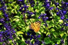 Una farfalla e una lavanda Fotografie Stock