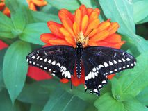 Una farfalla nera di coda di rondine Immagine Stock Libera da Diritti