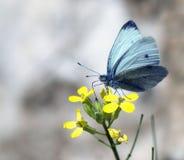 Una farfalla raccoglie il nettare su un fiore giallo immagini stock