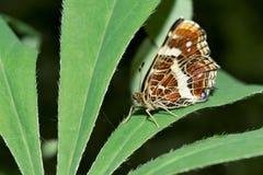Una farfalla si siede su un'ampia foglia di una pianta verde, un bello insetto in un ambiente naturale, fondo astratto Immagini Stock