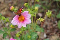 Una farfalla sta riunendo un fiore in un parco (Francia) Fotografia Stock Libera da Diritti