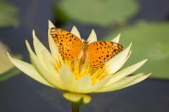 Una farfalla su Lotus Immagine Stock Libera da Diritti