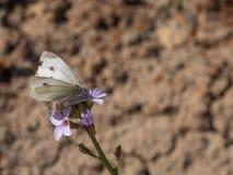 Una farfalla su un fiore di Aubrieta, primo piano immagine stock libera da diritti