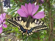 Una farfalla variopinta della molla sul fiore porpora Immagine Stock