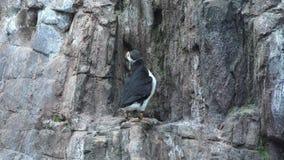 Una fauna selvatica animale del pinguino stock footage