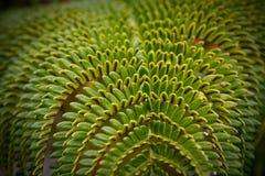 Una felce tropicale verde Fotografia Stock Libera da Diritti