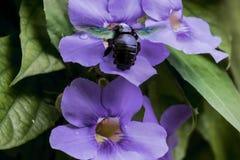 Una feliz abeja alrededor de la flor Fotos de archivo libres de regalías