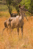 Una femmina attenta di kudu Immagine Stock
