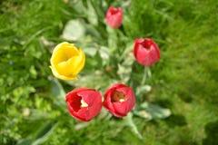 Una figura de la frontera de tulipanes multicolores Imagenes de archivo