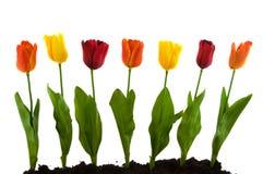 Una fila con los tulipanes de seda coloridos Fotografía de archivo libre de regalías
