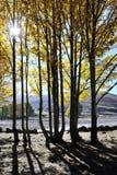 Una fila de los árboles de álamo Fotografía de archivo libre de regalías