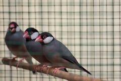 Una fila de los pájaros beaked rojos de la jaula se sentó en su perca Foto de archivo libre de regalías