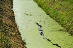 Una fila de patos en agua de la zanja Fotografía de archivo libre de regalías