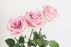 Una fila de tres rosas con el tronco verde Fotografía de archivo