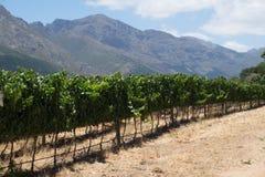 Una fila de uvas de un viñedo en las montañas de la península del sur de África Imagenes de archivo