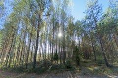 Una fila degli alberi davanti ad un campo Sun luminoso nel telaio glare fotografie stock