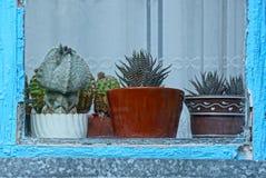 Una fila dei cactus in vasi dietro vetro Fotografia Stock