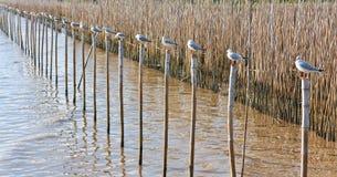 Una fila dei gabbiani bianchi che si siedono su un bambù Fotografia Stock Libera da Diritti