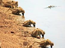 Una fila del babuino de chacma con las cabezas abajo que beben del río de Luangwa en Zambia Foto de archivo libre de regalías