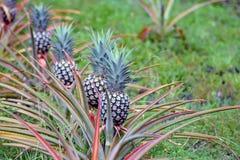 Una fila dell'ananas che cresce in una piantagione Immagine Stock