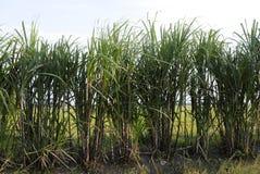 Una fila della pianta della canna da zucchero fotografie stock