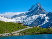 Una fila delle mucche svizzere che stanno sul prato alpino, Svizzera Fotografia Stock Libera da Diritti