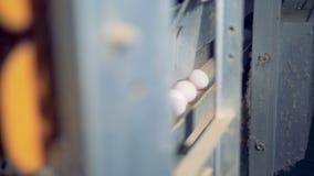 Una fila delle uova bianche sta avanzando verso una pista di trasporto attraverso la condotta del metallo video d archivio