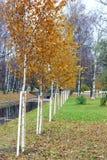 una fila recta de los árboles de abedul jovenes plantados Imagen de archivo libre de regalías