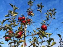 Una filiale con le mele rosse immagini stock libere da diritti