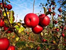 Una filiale con le mele rosse fotografie stock