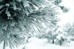 Una filiale delle foglie degli aghi del pino congelate vicino su Fotografia Stock