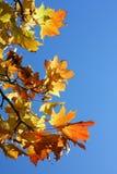 Una filiale delle foglie di acero Fotografia Stock Libera da Diritti