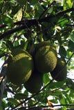 Una filiale di albero in pieno della frutta della presa Immagini Stock Libere da Diritti