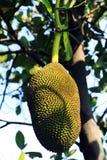 Una filiale di albero in pieno della frutta della presa Fotografia Stock