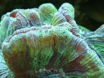 Una fine del corallo di cervello del Bali Fotografie Stock Libere da Diritti